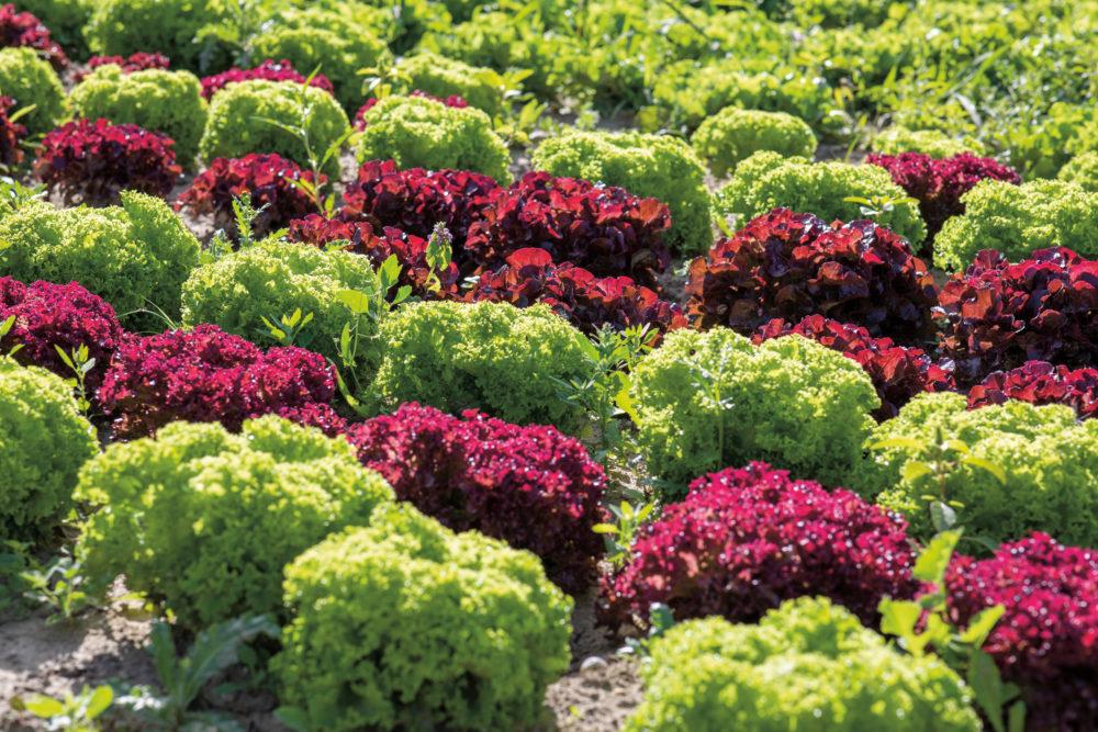 Kopfsalat aus dem Mühlviertel